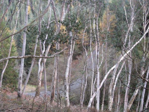 Eucalyptus in the Brechfa Forest Garden