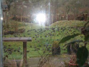 starlings from kitchen